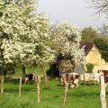 Normandie-vache-normande